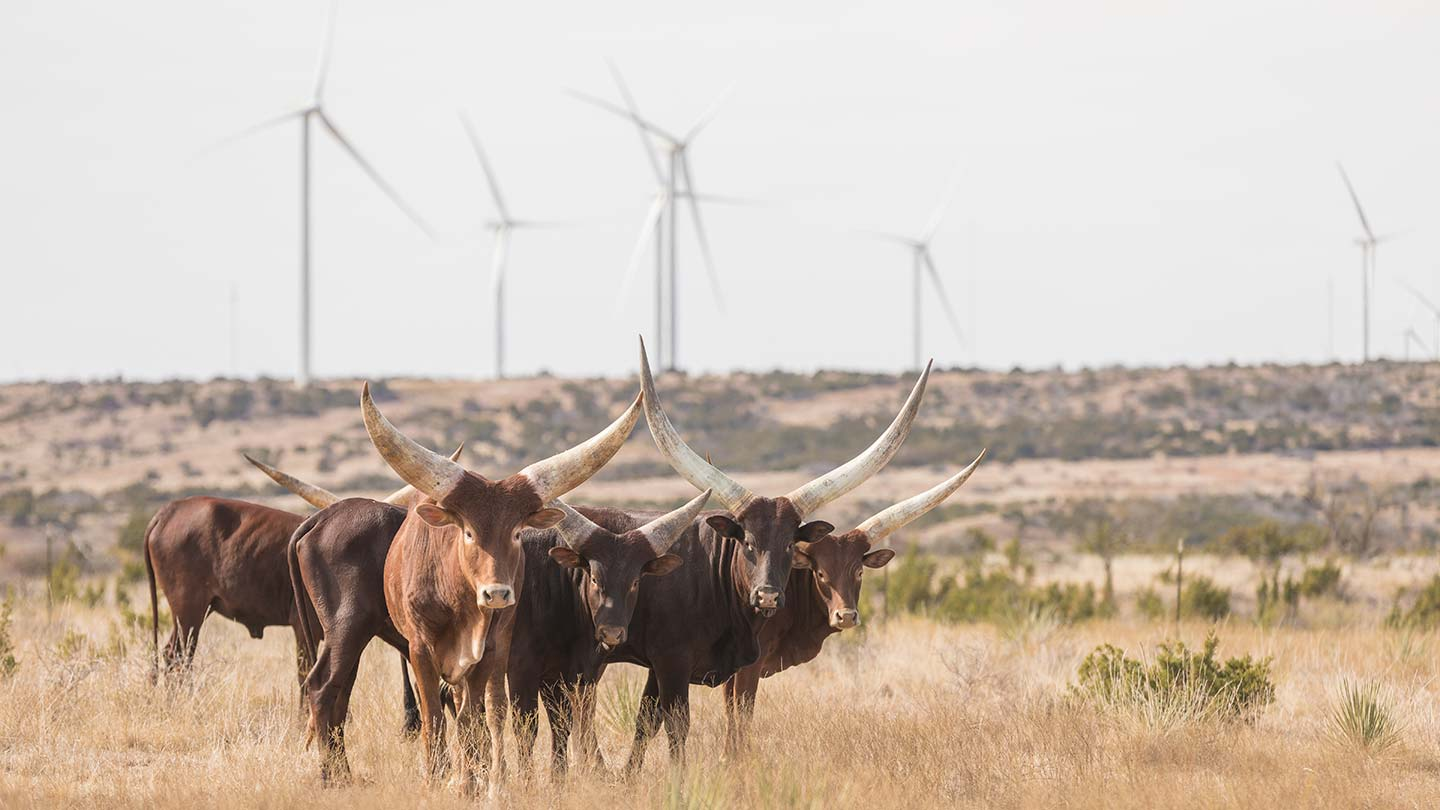 Onshore wind_Amazon_Texas_cows with horns