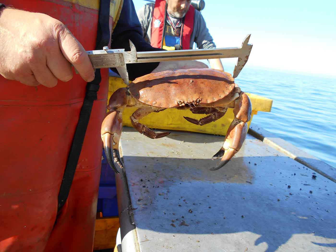 Crab being measured