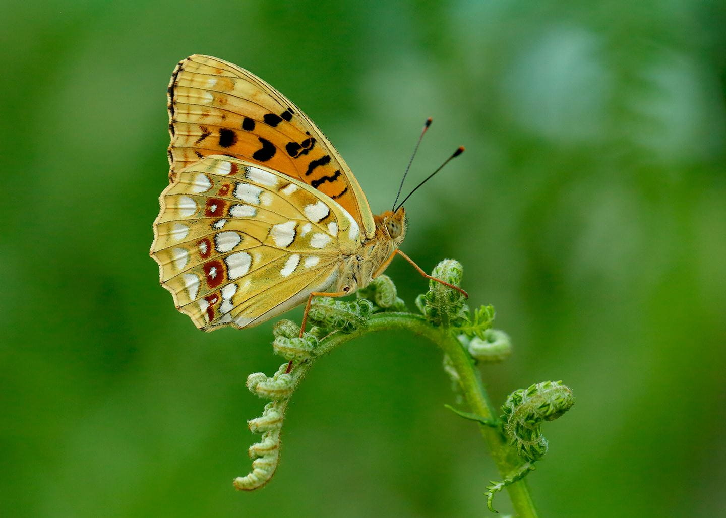 High Brown Fritillary credit Iain H Leach