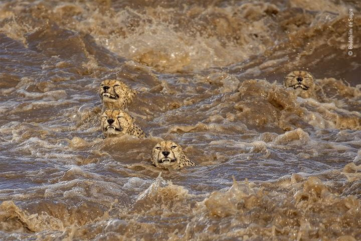 Wildlife Photographer of the Year 2021 photograph showing Cheetahs crossing the Talek Rivver in Kenya, © Buddhilini de Soyza, Wildlife Photographer of the Year