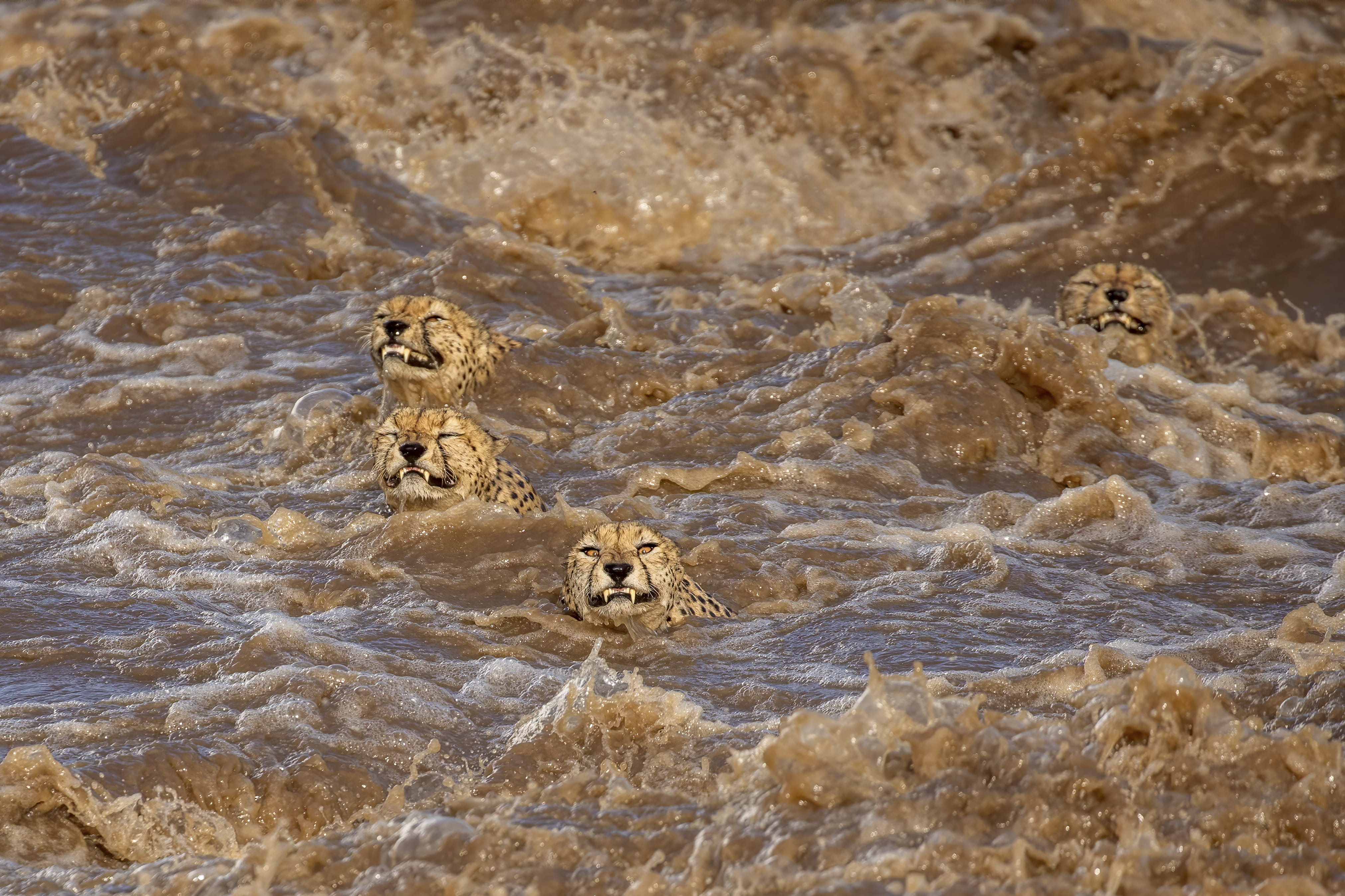 Cheetahs crossing the raging Talek River in Kenya. © Buddhilini de Soyza, Wildlife Photographer of the Year